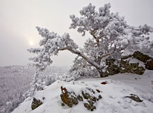 Snow-covered tree on a rock Stock Photo