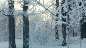 Snow covered tree. Snow falling from tree. Snowy trees in winter. Shaking tree. Snow covered tree. Snow on tree. Snow falling from tree. Trees covered by snow stock video footage