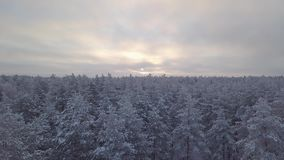 Snow-covered tree tops in the forest. The dawn of a winter day. Bird`s eye view stock footage