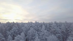 Snow-covered tree tops in the forest. The dawn of a winter day. Bird`s eye view stock video footage
