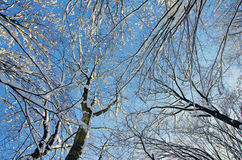 Snow-covered tree tops Stock Images