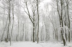 Snow covered tree trunks. Snow scene showing hundreds beech trees with their trunks covered in fresh white snow Stock Photography