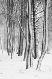 Snow covered tree trunks Royalty Free Stock Images