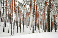 Snow-covered tree trunks royalty free stock photos