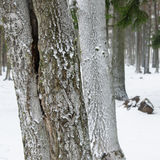 Snow covered tree trunks. Stock Photo