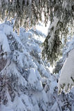 Snow-covered tree Royalty Free Stock Image