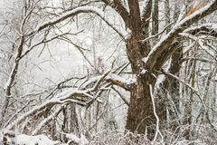 Snow-covered Tree In Winter Frosty Forest. Trees In Snow royalty free stock photo