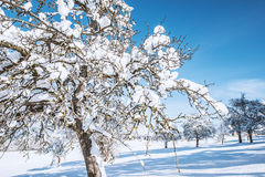 Snow covered tree in winter Royalty Free Stock Photos