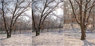 Snow-covered treefilialer Den härliga vintern landskap med snow täckte trees Övervintra i skogen, solen som skiner till och med f Royaltyfria Foton