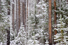 Snow-Covered Trees. Snow-covered forest in winter stock images