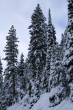 Snow Covered Trees  12 Royalty Free Stock Images