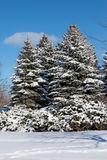 Snow Covered Trees. A photo of snow covered spruce trees taken on a bright sunny day with blue sky Stock Images