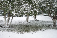 Snow covered trees. In a garden Royalty Free Stock Image