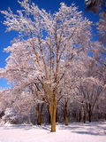 Snow covered trees 3. Snow covered trees on Thanksgiving 2004 after a snowstorm in Illinois stock photography