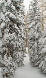 Snow covered trees. Snow covered spruce trees Royalty Free Stock Photos