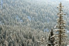 Snow Covered Trees. Rolling hills with snowy forrest royalty free stock photography