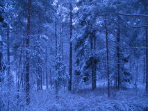 Snow covered trees. In a beautiful dreamlike looking forest Royalty Free Stock Image