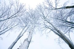 Snow-covered trees. Tops of snow-covered trees behind winter sky Stock Image