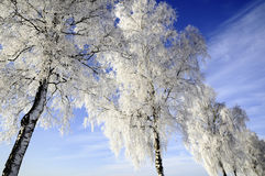 Snow covered trees. A background of snow covered trees and a blue sky Stock Photography