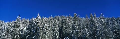 These are snow covered trees against a blue sky. Royalty Free Stock Photos