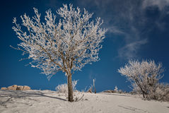 Snow-covered trees against a blue sky Stock Photo