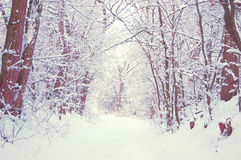 Snow-covered trees alley Royalty Free Stock Image