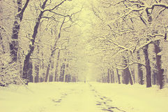 Snow-covered trees alley Stock Photo