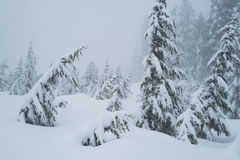 Snow covered trees along the  snowshoeing trail on Cypress Mountain Royalty Free Stock Photo