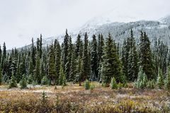 Snow covered trees in the alpine forest of the Canadian Rockies along the Icefields Parkway between Banff and Jasper Royalty Free Stock Photos