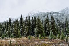 Snow covered trees in the alpine forest of the Canadian Rockies along the Icefields Parkway between Banff and Jasper Royalty Free Stock Images