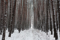 Snow covered trees in beautiful winter forest Royalty Free Stock Photos