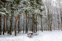 Snow-covered trees and benches in the pine park Stock Photography
