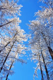 Snow covered trees on blue sky. Snow covered trees on clear blue sky Royalty Free Stock Images
