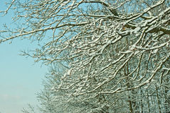 Snow-covered trees. Snow covered branches of trees Stock Image