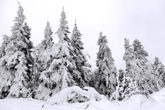 Snow-covered trees in Carpathian Mountains Royalty Free Stock Photography