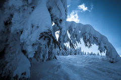 Snow-covered trees in Carpathian Mountains Royalty Free Stock Photo