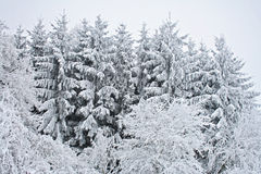 Snow covered trees Royalty Free Stock Images