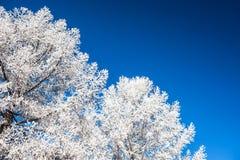 Snow-covered trees and dark blue sky Stock Photos