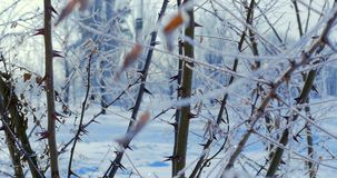 Snow-covered trees, dry reeds in the snow, Bright sunlight falling with snow, snowflakes falling from the trees. Snow-covered trees, dry reeds in the snow stock video footage