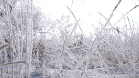 Snow-covered trees, dry reeds in the snow, Bright sunlight falling with snow, snowflakes falling from the trees. Snow-covered trees, dry reeds in the snow stock footage