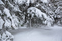 Snow covered trees in forest Stock Photography