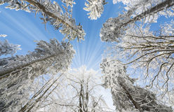 Snow covered trees Royalty Free Stock Photo