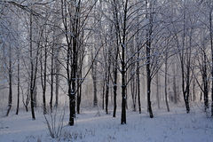 Snow-covered trees. Forest Branches Snow The trunks of the trees Footprints in the snow Winter Nature Frost Black and White Grey Beautiful Cold Royalty Free Stock Photo