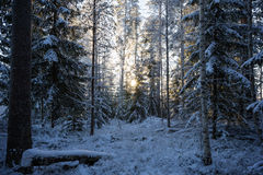 Snow covered trees in a forest at dusk Stock Photo