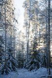 Snow covered trees in a forest at dusk Stock Photos