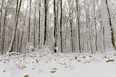 Snow covered trees in the forest in winter stock photography