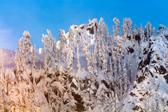 Snow Covered Trees High Snow Mountain Snoqualme Pass Washington Stock Photography
