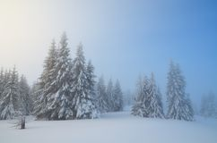 Snow Covered Trees In Forest Royalty Free Stock Image