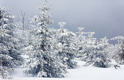 Snow-covered trees Royalty Free Stock Photos
