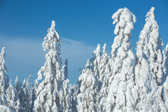 Snow covered trees in Koli National Park Royalty Free Stock Photography